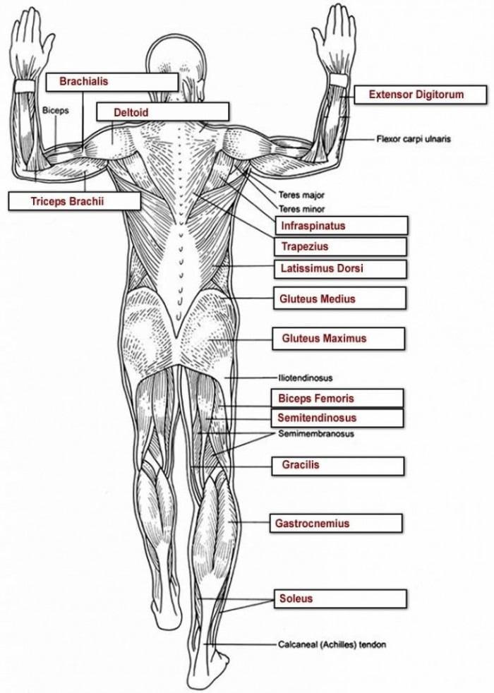 Muscle Anatomy Worksheets | 99Worksheets