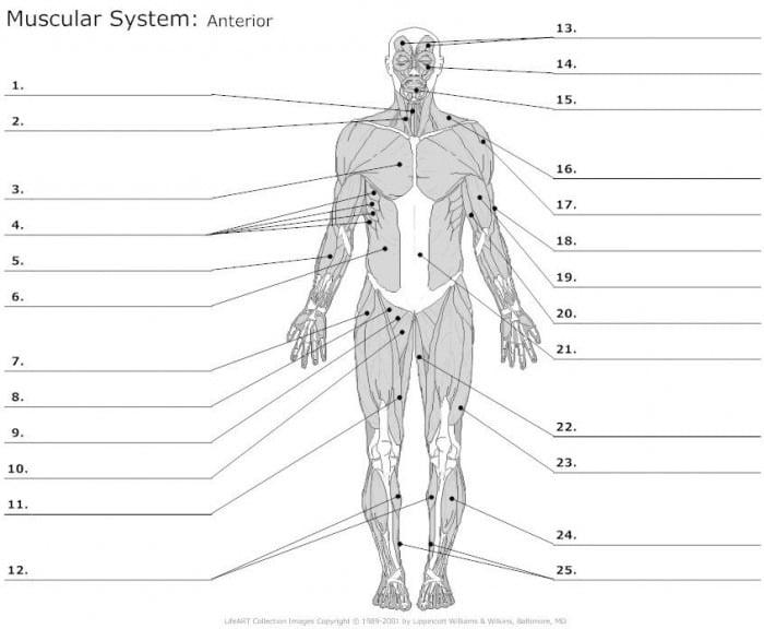 Muscle Anatomy Worksheets   99Worksheets