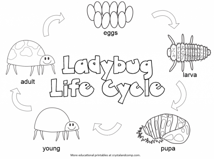 Kid Color Pages Ladybug Life Cycle With Images