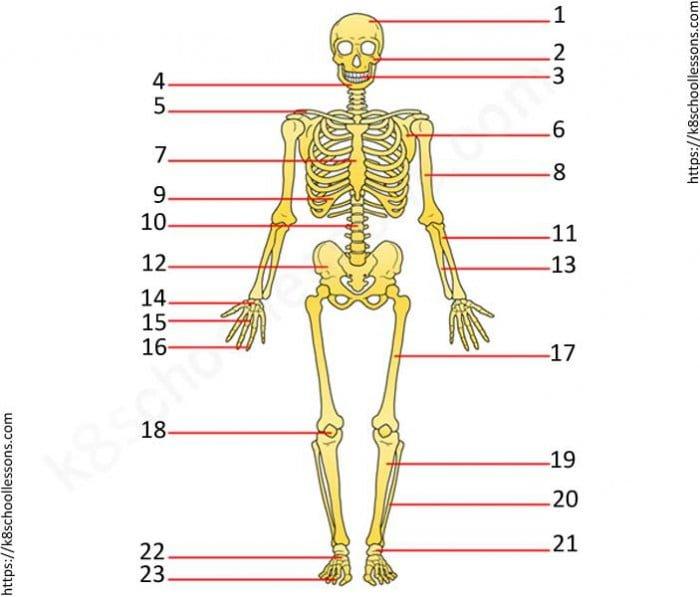 Skeletal System Quiz Worksheets