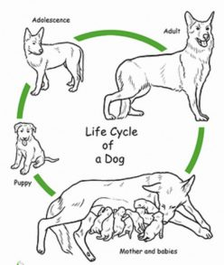 Color The Life Cycle: Dog