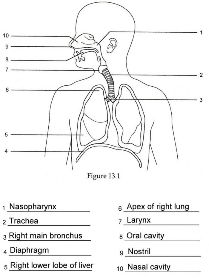 Worksheet The Human Respiratory System Worksheet Answers Human