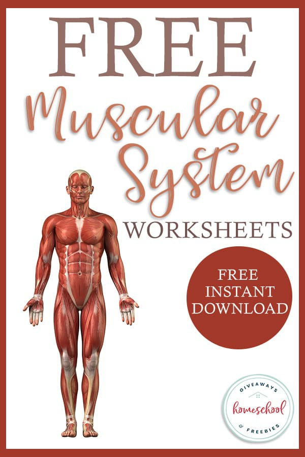 Free Worksheets For The Muscular System