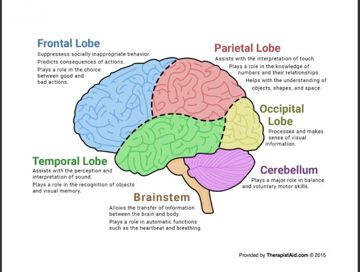 Regions Of The Brain Worksheets | 99Worksheets
