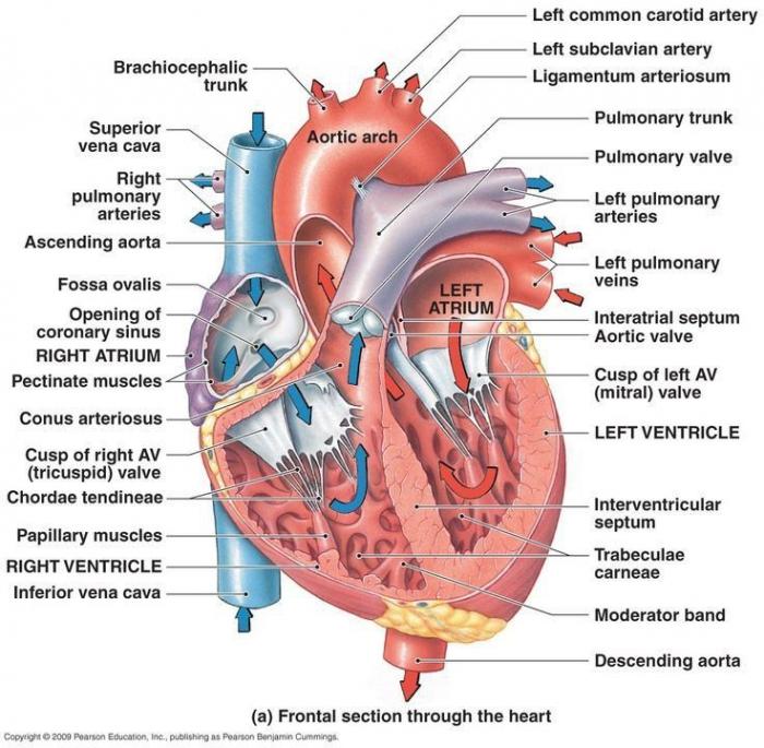 College Anatomy Worksheets