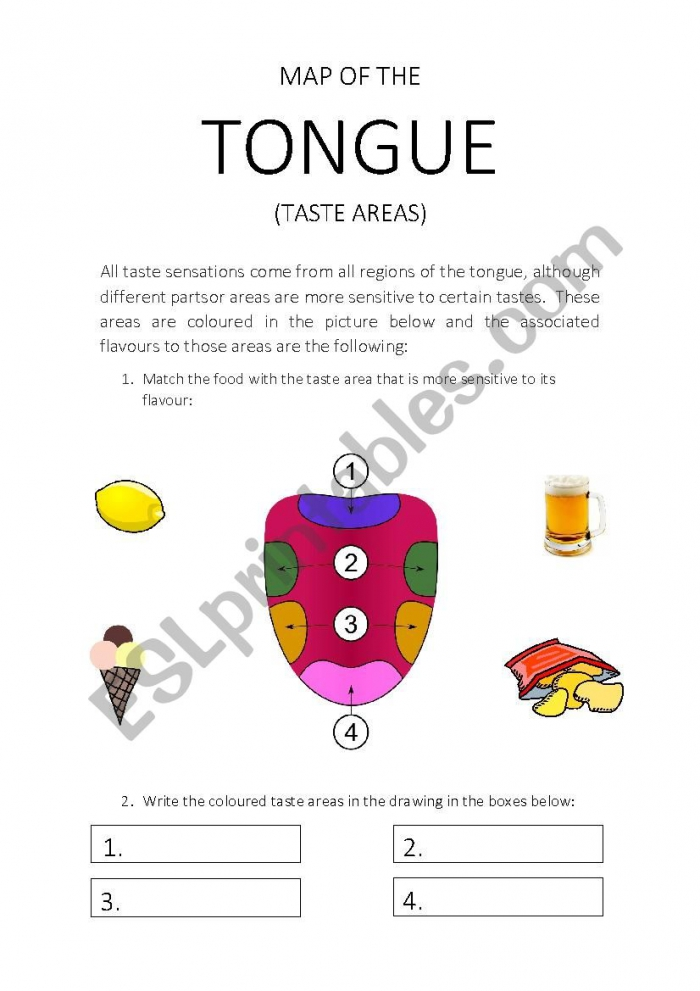 Map Of The Tongue Taste Areas Worksheet
