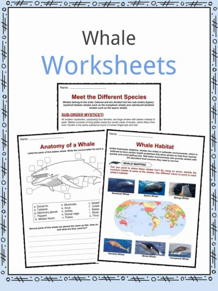 Whale Facts  Worksheets  Species  Diet   Information For Kids