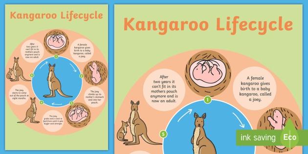 Kangaroo Life Cycle Poster