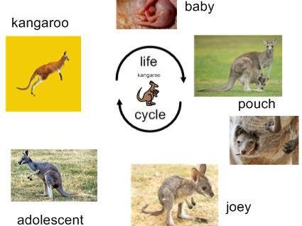 Life Cycle Of Kangaroo