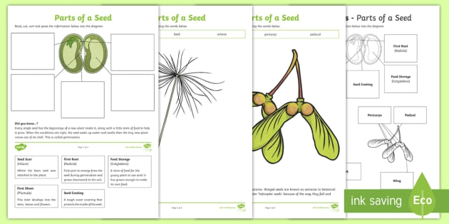 Parts Of A Seed Worksheets Teacher Made