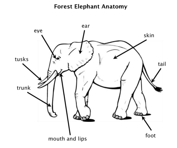 Elephants Are The Largest Animals That Live On Land The Average