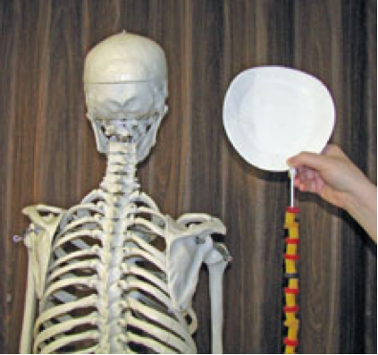 Modeling The Backbone And Spinal Cord