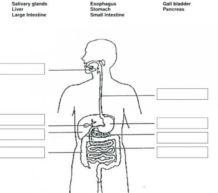 Digestive System Interactive Worksheet