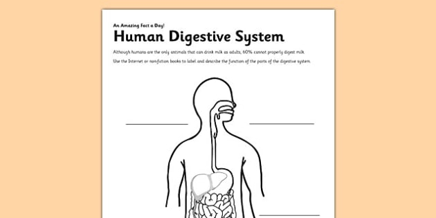Human Digestive System Worksheet  Worksheet Teacher Made