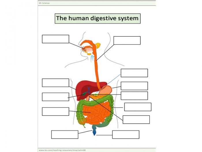 The Human Digestive System Worksheet