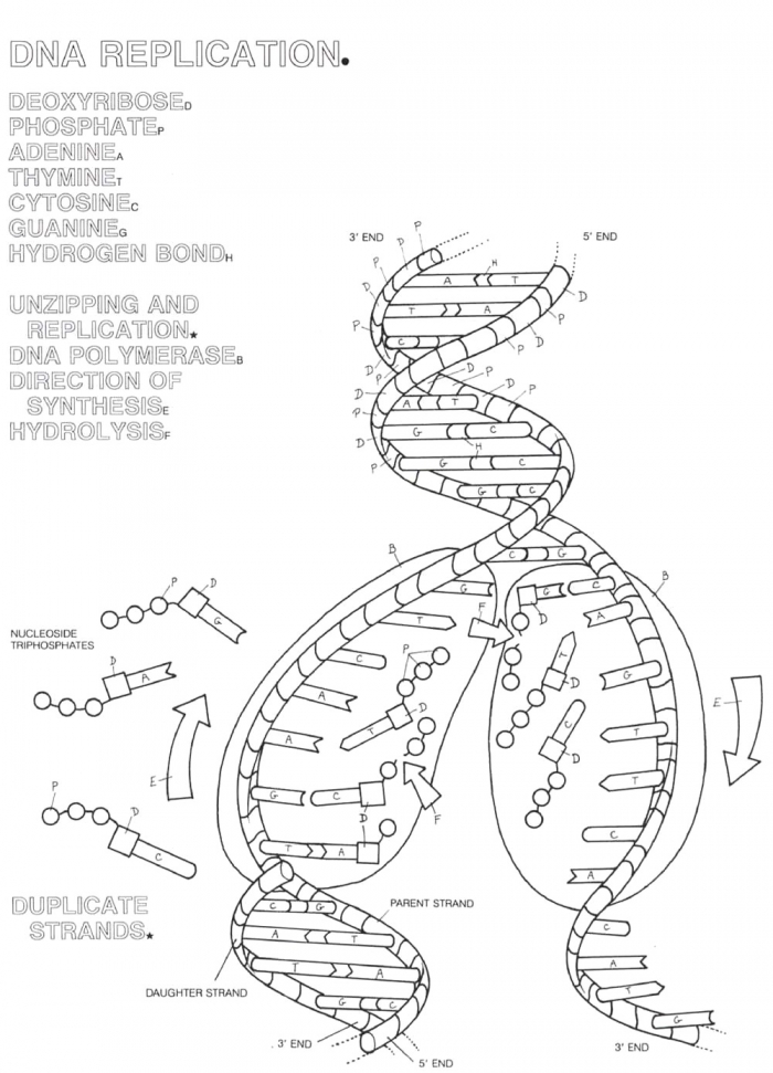 Dna Replication Coloring Page