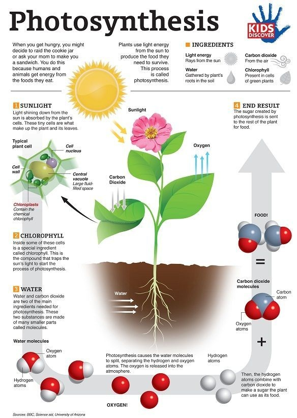 Great Resource For Botany Infographic Photosynthesis In  Easy