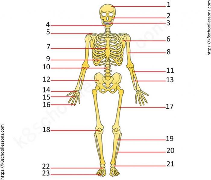 Label Human Skeletal System Quiz Worksheets For Grade Quizzes