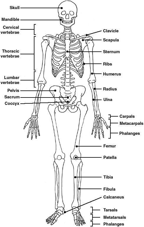 Skeletal System Worksheets Answer Key