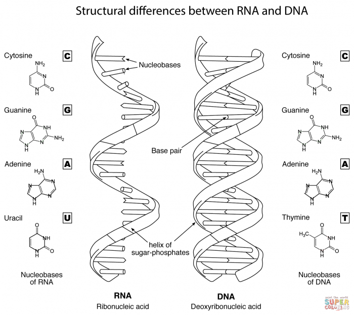 Structural Differences Between Rna And Dna Coloring Page
