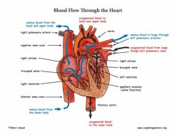 How Does Blood Flow Through The Heart?