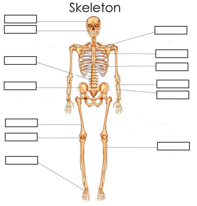 Bones Skeleton Basic Interactive Worksheet Worksheets For Th