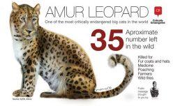 Endangered Species: Amur Leopard