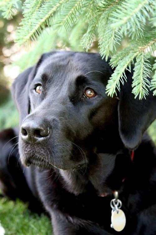 Black Labrador  Animalsandpets If You Love Labradors Visit Our