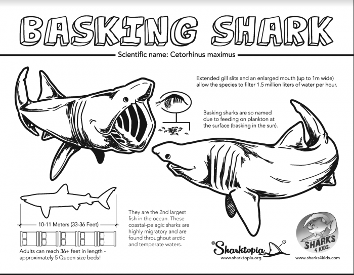Learn All About Basking Sharks With Our Jawsome Coloring Fact
