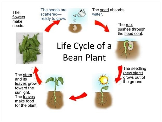 Life Cycle Of A Bean Plant Science Lesson For Grade  A Life