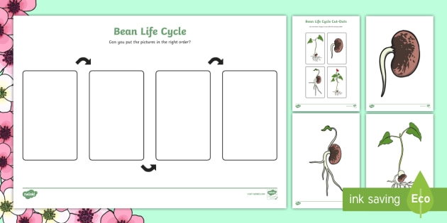 Life Cycle Of A Bean Worksheet And Posters Teacher Made