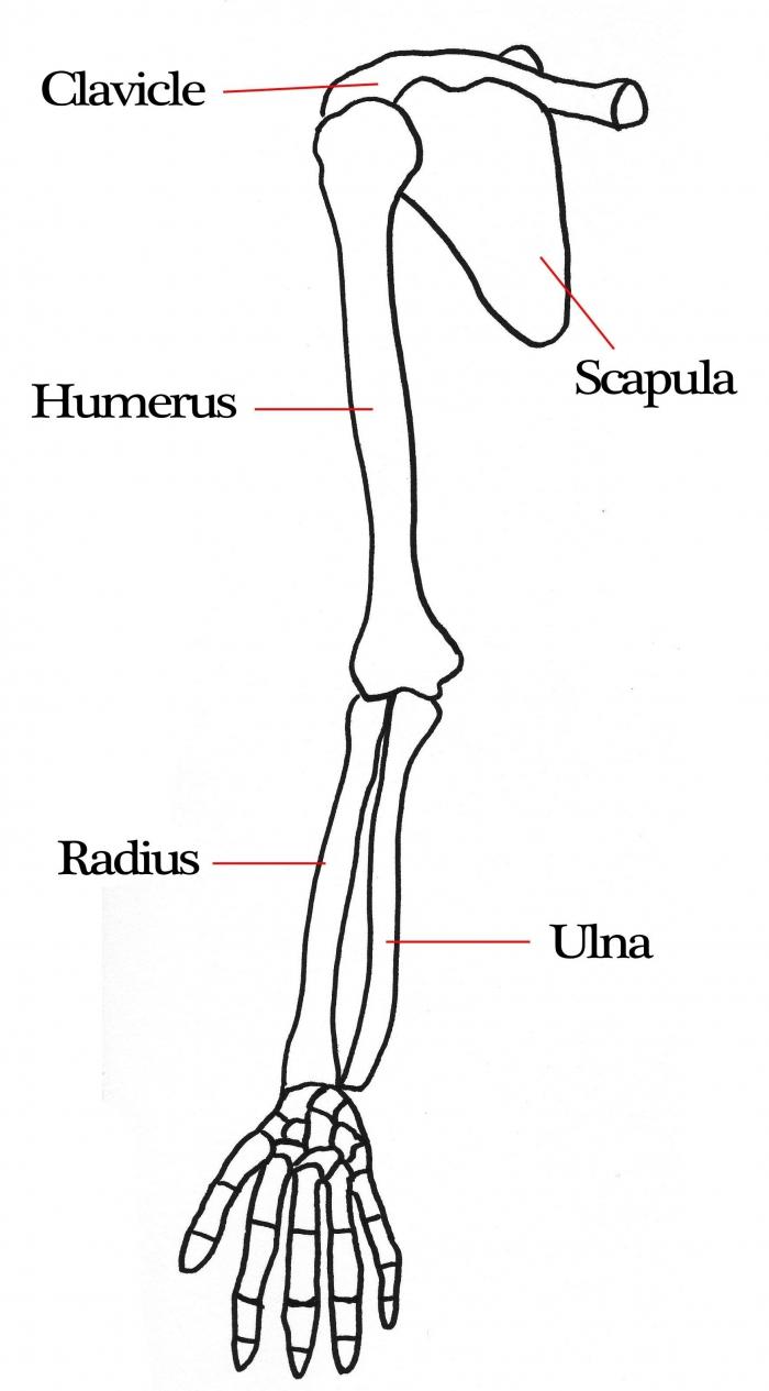Arm Bone Diagram