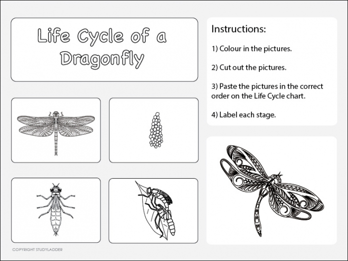 Life Cycle Of A Dragonfly Worksheet