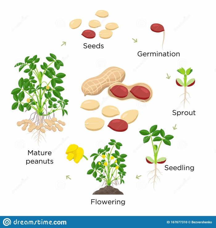 Life Cycle Of A Peanut Plant Worksheet Answers Page