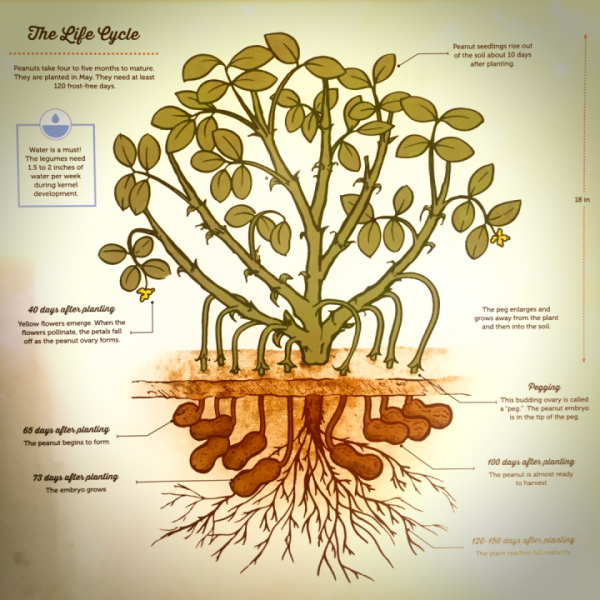 Peanut Plant Life Cycle Page