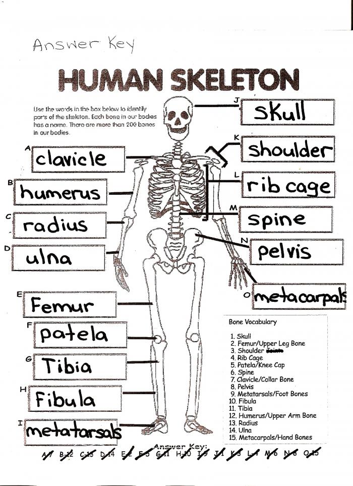 Skeleton Bones Worksheet Human Body Page