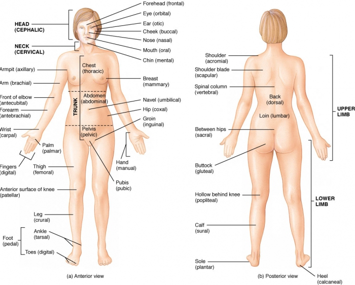 The Language Of Anatomy Anatomical Position And Directional Terms