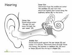How The Ears Work: Awesome Anatomy