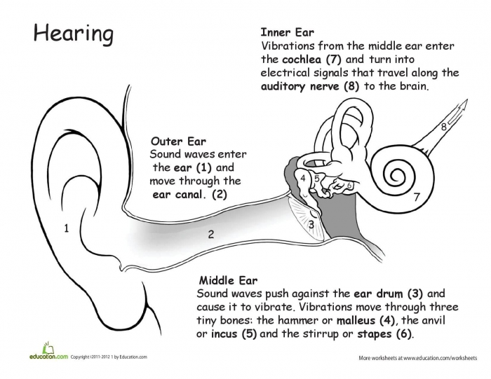 How Hearing Works The Auditory Process Explained