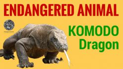 Endangered Species: Komodo Dragon