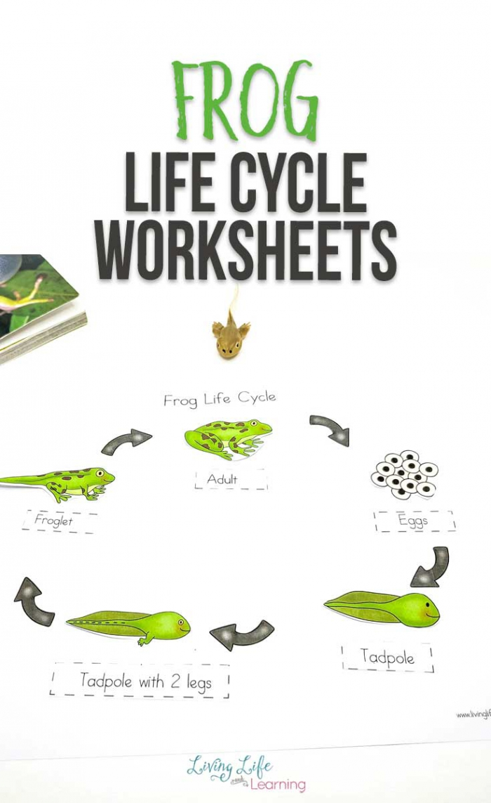 Super Fun Frog Life Cycle Worksheets To Help Teach Stages Of Life