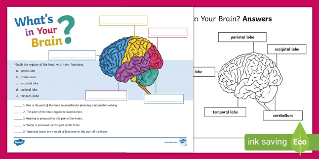 Whats In Your Brain Activity Teacher Made