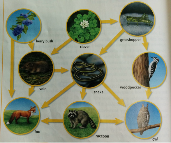 Clover Leaf Food Chain With Answers
