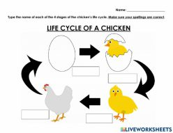 A Chicken Life Cycle