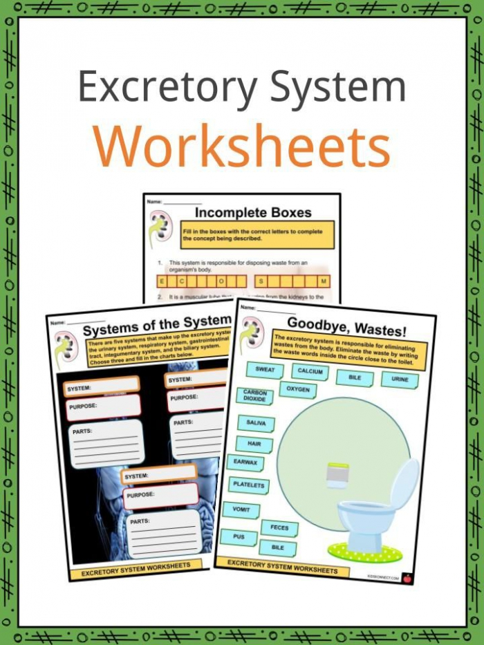 Excretory System Facts Worksheets Functions For Kids