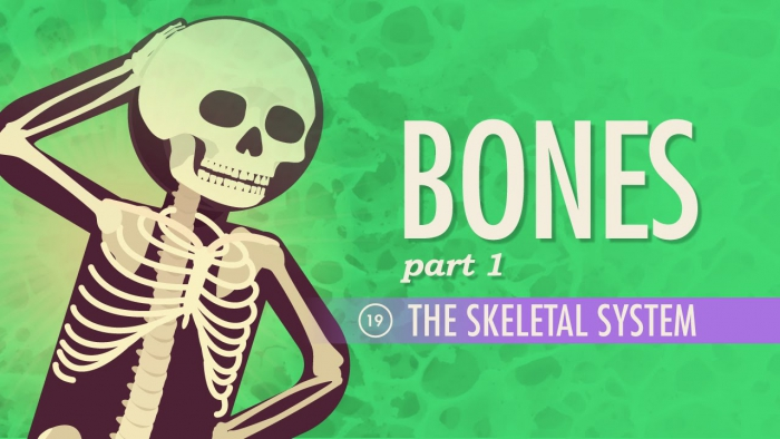 The Skeletal System Crash Course A P